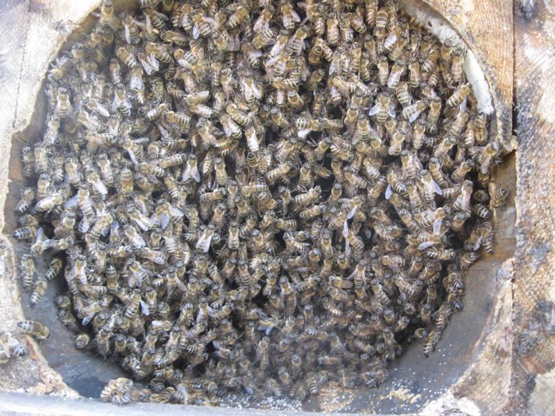 karakovan arı