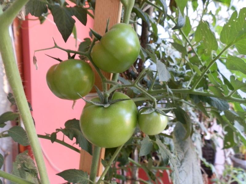 balkon bahçe domatezi