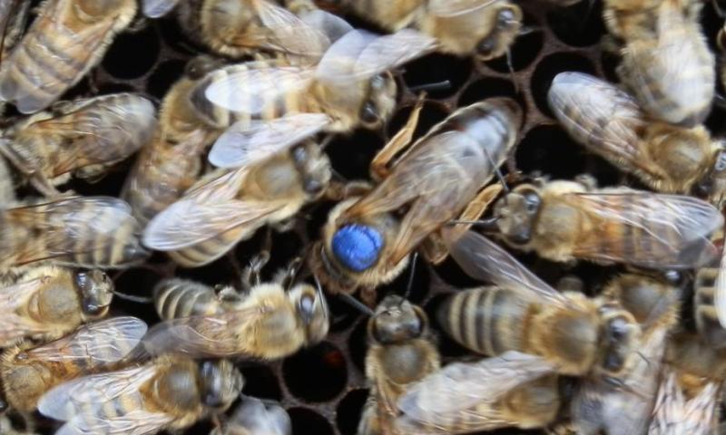 kraliçe ana arı