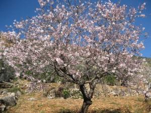 Çiçeklenmiş badem ağacı
