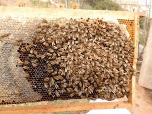 yavrulu arı çıtası
