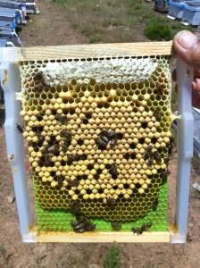 erkek arı pupası