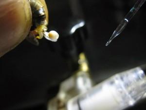 arı spermi