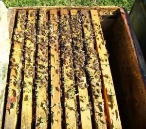 ana arı üretimi_anasız kovan