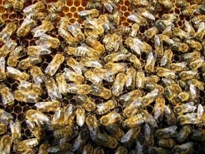 ana arı üretimi_erkek arılar