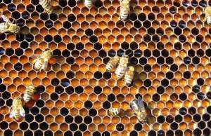 ana arı üretimi_polenli çıta