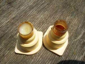 ana arı üretimi_tutmuş larva _ altındaki arı sütü