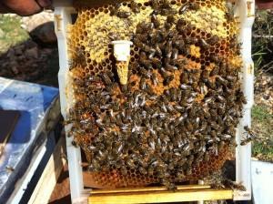 ana arı memesi dagıtımı