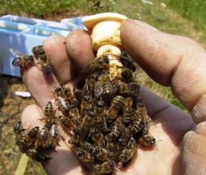 on günlük ana arı memesi